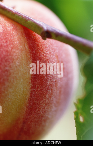 Peach on branch, extreme close-up - Stock Photo