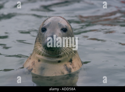 Seal at the National Seal Sanctuary at Gweek in the Helford Estuary Cornwall England UK - Stock Photo
