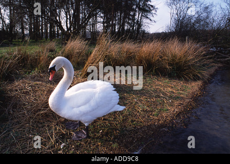 swan near nest on shores of rutland water resevoir - Stock Photo