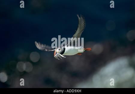Atlantic Puffin Fratercula arctica adult in flight with sandeels in beak Hornoya Nature Reserve Vardo Norway June - Stock Photo