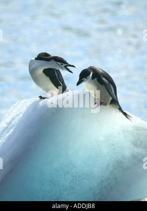 Two chinstrap penguins arguing Bailey Head Deception Island Antarctica - Stock Photo