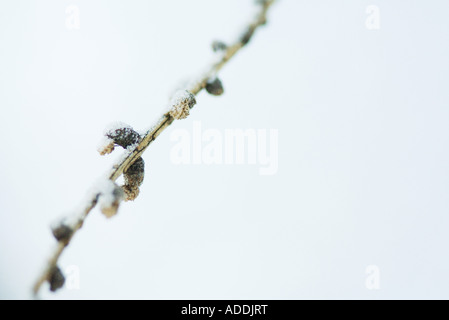 Snow-covered stem - Stock Photo