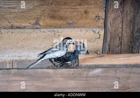 White Wagtail feeding young in nest in barn Brood parasit Rothenthurm Switzerland May 1991 - Stock Photo