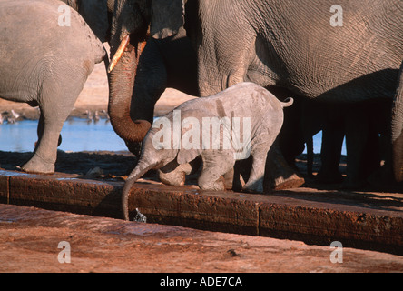 African elephant Loxodonta africana Drinking at waterhole Etosha N P Namibia - Stock Photo
