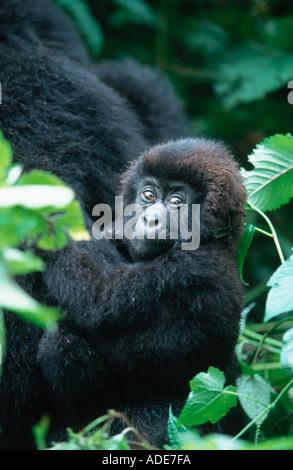 Mountain Gorilla Gorilla gorilla beringei Youngster plays while mother feeds P N des Volcans Rwanda Uganda DRC - Stock Photo