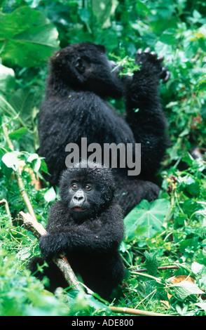 Mountain Gorilla Gorilla gorilla beringei Youngster plays while mother feeds Rwanda Uganda DRC P N des Volcans Rwanda - Stock Photo