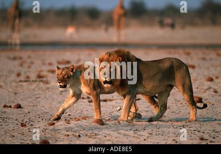 Lion Panthera leo Male and female Etosha National Park Namibia Africa - Stock Photo