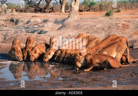 Lion Panthera leo Large pride drinking Chobe N P Botswana Africa - Stock Photo