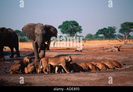 Lion Panthera leo Elephant bull charges lion pride at waterhole Chobe N P Botswana Africa - Stock Photo