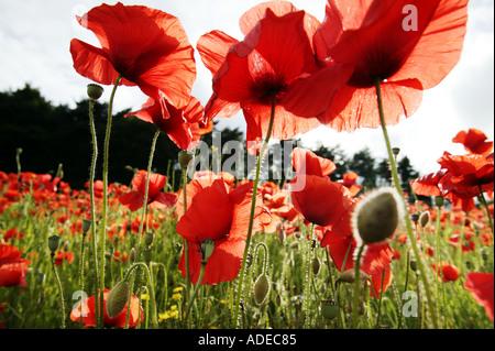 A poppy field in Blakedown near Kidderminster Worcestershire UK 18 June 2003 - Stock Photo