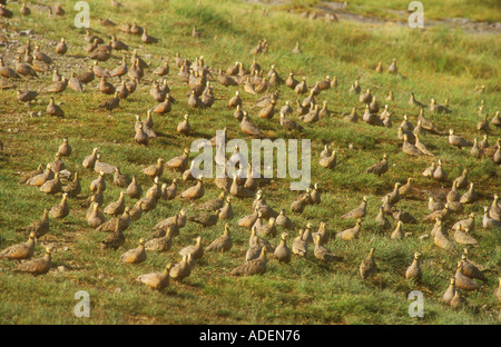 Hundreds of Yellow throated Sandgrouse gathering in evening close to water - Stock Photo