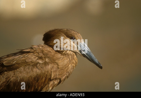 Hamerkop a classic portrait close up on head - Stock Photo