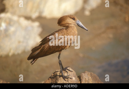 Hamerkop a classic portrait standing on a rock - Stock Photo