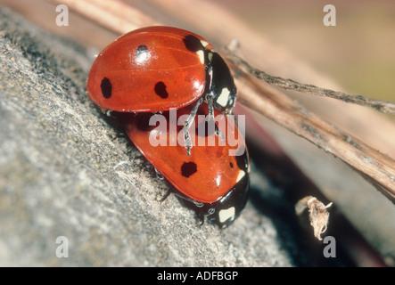 Seven-spot Ladybirds, Coccinella septempunctata. Pair mating - Stock Photo
