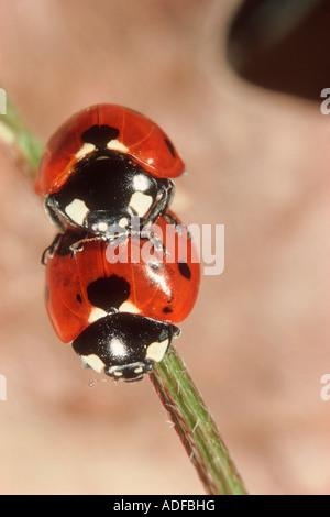 Seven-spot Ladybirds, Coccinella septempunctata. Couple mating - Stock Photo