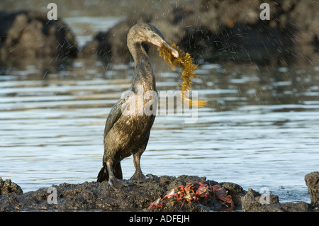 Flightless Cormorant (Nannopterum harrisi) male carrying seaweed, nest-building gifts, Punta Albemarle Isabela Galapagos - Stock Photo