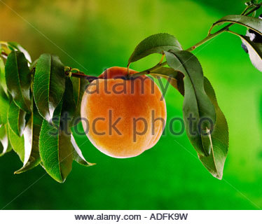 Close up of a peach hanging on the peach tree, with leaves and a deep green background. - Stock Photo