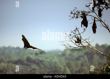 Sri Lankan fruit bats known as flying foxes roost in trees during the day - Stock Photo