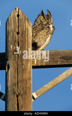 Great Horned Owl Bubo virginianus adult roosting on telephone post Starr County Rio Grande Valley Texas USA March - Stock Photo