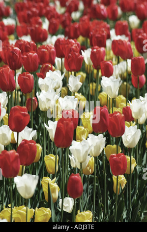 mix of white yellow red purple tulips in a display garden - Stock Photo