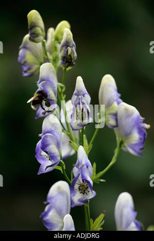 Bee inside flower of the Monkshood plant (Aconitum) gathering pollen - Stock Photo