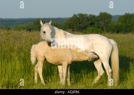 Connemara pony mare with foal in the paddock - Stock Photo
