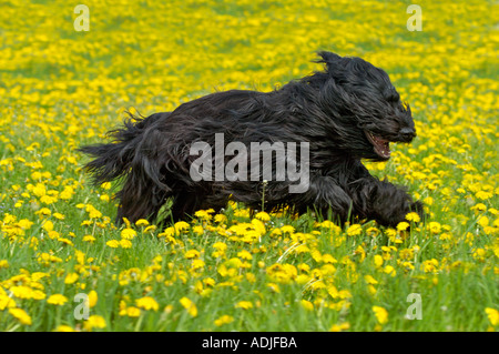 Briard dog in a meadow with dandelion - Stock Photo