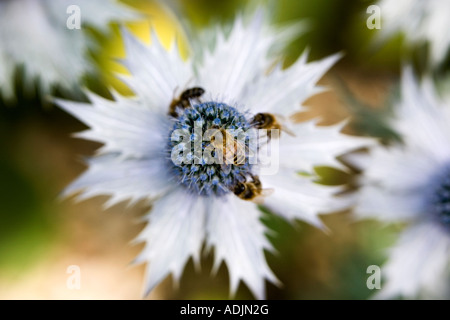 Honey Bees on Eryngium plant in an English country garden. UK - Stock Photo