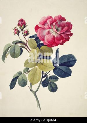 Rosa centifolia moss rose - Stock Photo