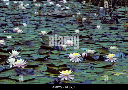 Water lilies near Florence Oregon - Stock Photo