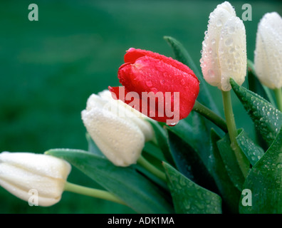 White with one red tulip after rain Near Monroe Oregon - Stock Photo