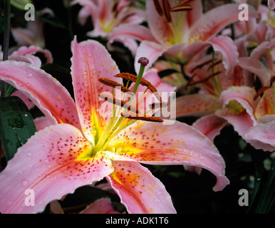 Lilies Lilium Star Gazer Bloedel Conservatory Vancouver BC - Stock Photo