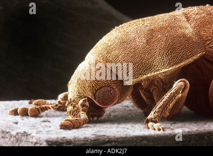 Dermestes lardarius larder beetle - Stock Photo