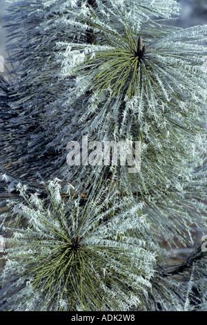 Hoarfrost on Ponderosa Pine Near Elmira Oregon - Stock Photo
