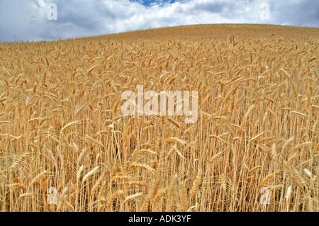 Close up of wheat field The Palouse Washington - Stock Photo