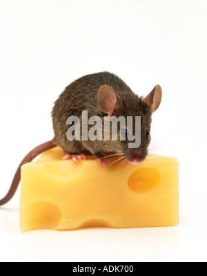 House mouse (Mus musculus) sitting on cheese - Stock Photo