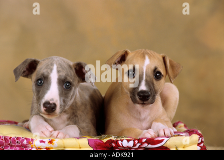 two Whippet dogs - puppies - lying on dog-pillow - Stock Photo