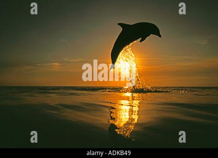 Bottlenose Dolphin Tursiops truncatus leaping Caribbean - Stock Photo