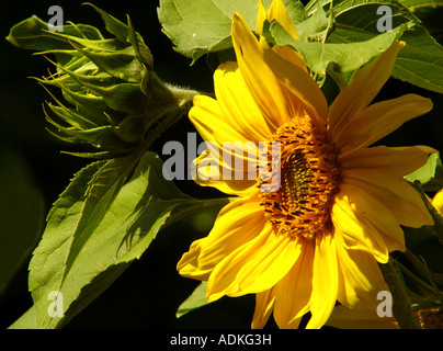Flower of Sunflower with a bud standing out of the background - Stock Photo