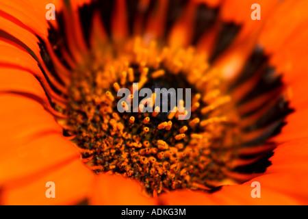 Macro short of orange flower with black patches ( 'Venidium' ) - Stock Photo