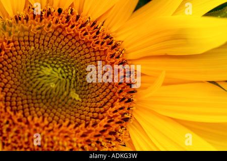 flower of sunflower, macro, differential focus - Stock Photo