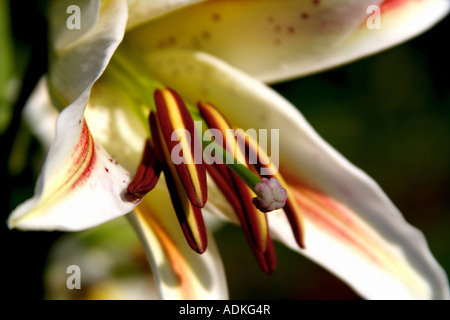 Close up flower of white Lily with pink and yellow patches standing out of the background - Stock Photo