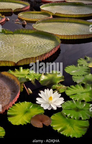 Tropical lily bloom and leaves of Amazon Lilies Hughes Water Gardens Oregon - Stock Photo