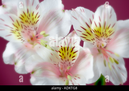 Close up of Peruvian Lily Sp Alstroemeria - Stock Photo