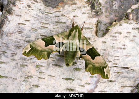 Lime Hawk moth Mimas tiliae at rest on bark showing markings potton bedfordshire - Stock Photo