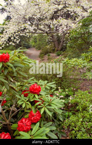 Rhododendron cherry tree in bloom with path Crystal Spring Rhododendron Garden Oregon - Stock Photo