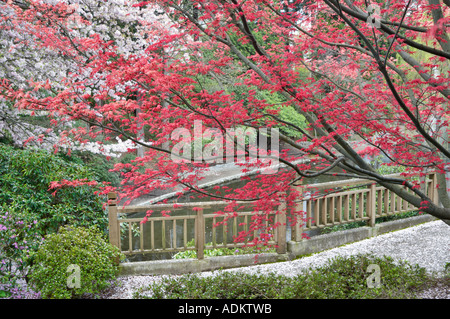 New red leaf growth on Japanese Maple tree and blooming cherry tree Crystal Springs Rhododendron Garden Oregon - Stock Photo