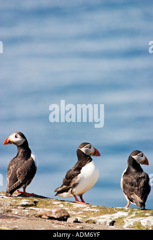Puffins perched on rock on Isle of May breeding colony Fratercula Arctica - Stock Photo