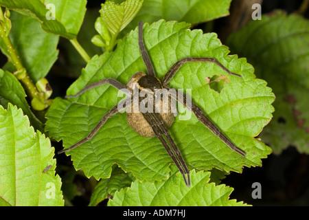 female Fen Raft Spider (Dolomedes plantarius) carrying egg sac. - Stock Photo