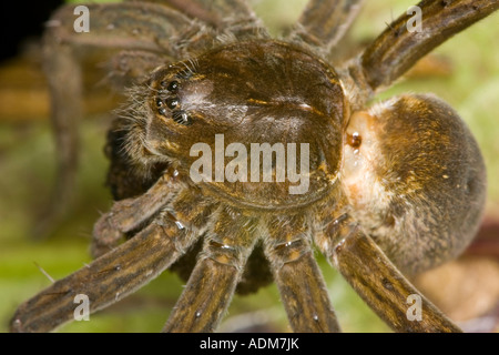 Close up of unstriped form of female Fen Raft Spider (Dolomedes plantarius) carrying mature egg sac. - Stock Photo